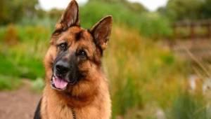 Koronavirüse yakalanan köpek öldü