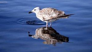 Çıldır Gölü'nde üreme dönemini tamamlayan martılar göçe hazırlanıyor